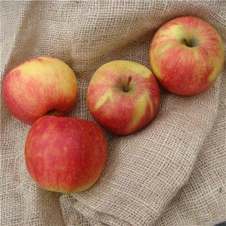 Jabłka rubinostar